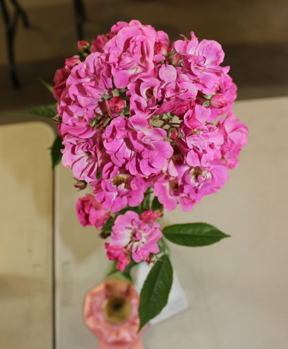 Best Polyantha Spray: Belinda