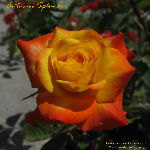 Autumn Splendor Mini Rose