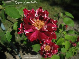 The Roger Lambelin Rose
