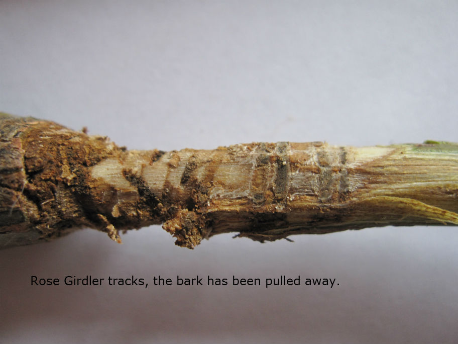 Rose girdler tracks