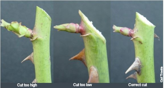 Correct pruning of your stems